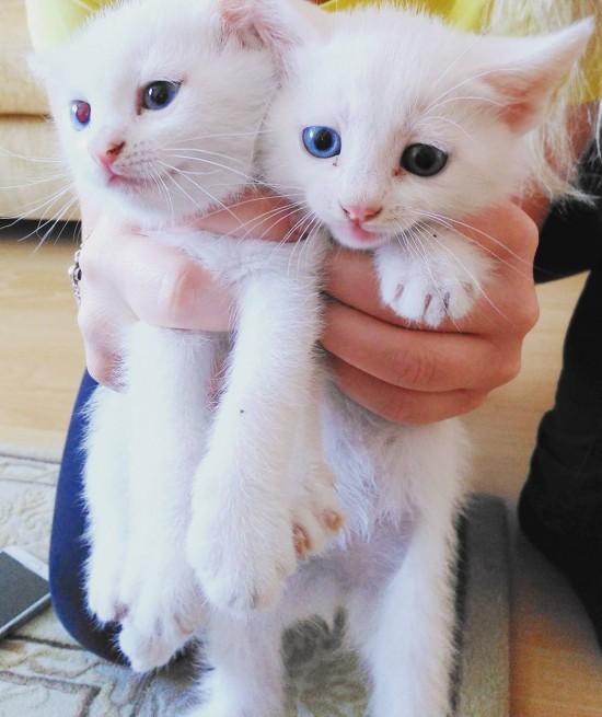 Filhotinhos de gato van, com olhos de cores diferentes. Crédito Instagram/@kedialos