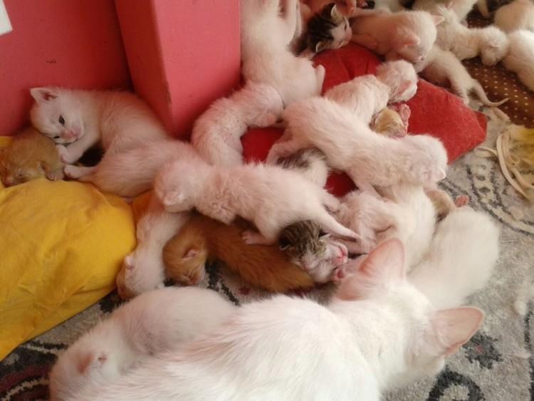 Filhotinhos de gatos van, na Turquia. Crédito The Van Cats Research Center/Reprodução